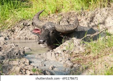 Water Buffalo chews cud in the mud in a Creek, Komodo National Park, Indonesia