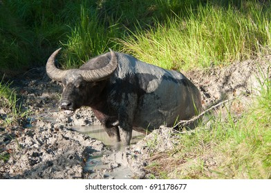 Water Buffalo covered in dried mud sits in muddy creek