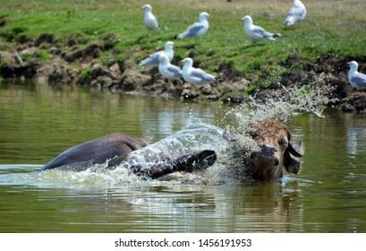 The water buffalo or domestic Asian water buffalo in water.