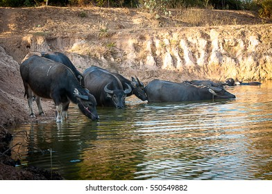 Water buffalo are down