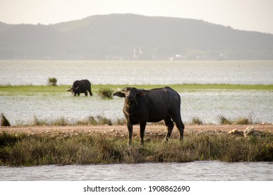Water buffalo eating grass in the wet area around Songkhla Lake.Songkhla, Tailand
