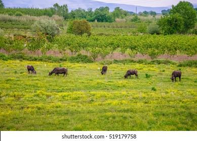 A water buffalo farm in Italy were their milk is used to make Mozzarella di Bufalo.