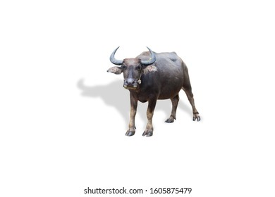 a water buffalo isolated on white background