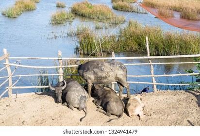 Water Buffalo Life In Stalls