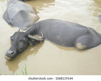 Water buffalo in Nepal