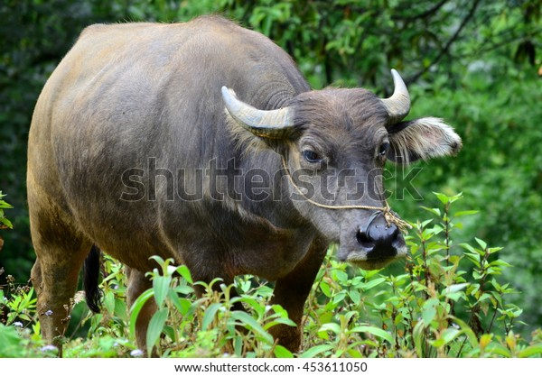Water buffalo on green background