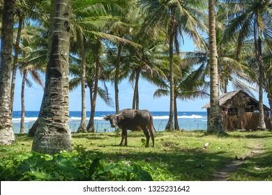 Water Buffalo in Palm Trees on Island Beach, Siargao - Philippines