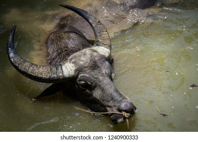 Water buffalo in the pool
