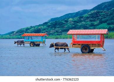 Water buffalo pull carts to link Iriomote Island and Yubu Island, Okinawa, Japan