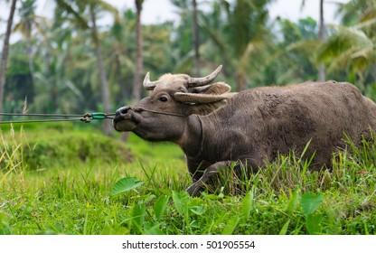 A water buffalo is resisting to be pulled out from a rice field by a farmer
