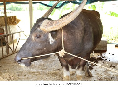 water buffalo resting in stables