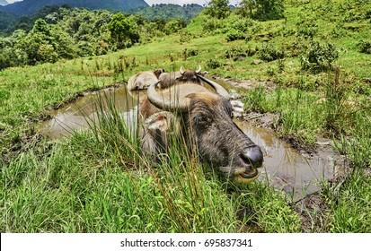 water buffalo in resting in water in vietnam.