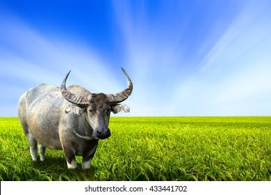 Water buffalo in rice field Buffalo eat grass on rice field