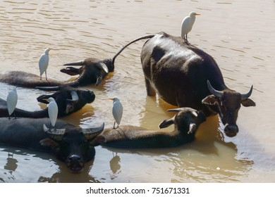 Water buffalo in the river with egret bird on the buffalo back.