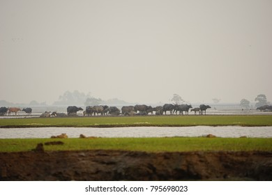 Water buffalo scenic view in the field and swamp land.