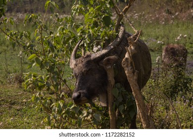 Water buffalo scratching his neck using a tree on a field in the hills of northern Laos