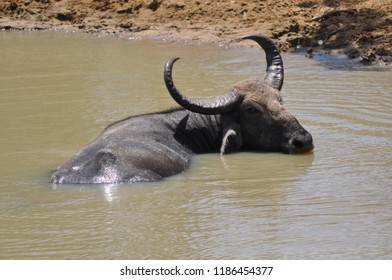 Water buffalo from Sri lanka