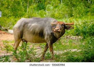Water buffalo in the Thailand forest