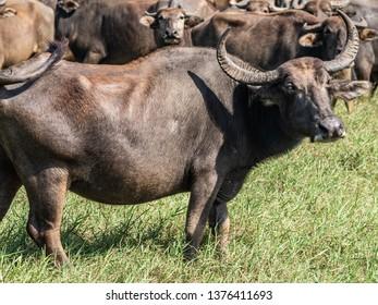 Water buffaloes in Minneriya National Park in Sri Lanka, March 11, 2019.