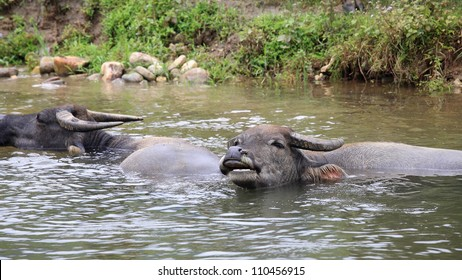 Water buffaloes taking a bath on the pond