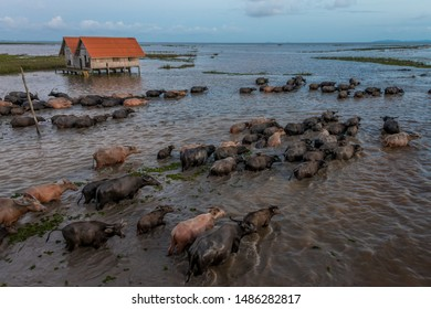 The water buffaloes are walking through shallow water back to the stall at wetland area, Thalenoi,Phatthalung, Thailand.