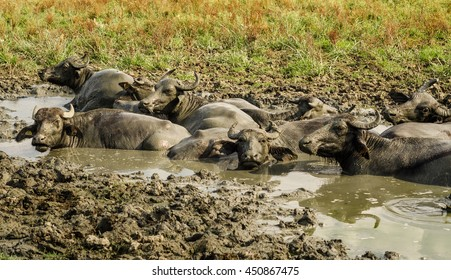 Water buffalos in the Wetlands of the Kizilirmak delta, Black Sea Province of Turkey