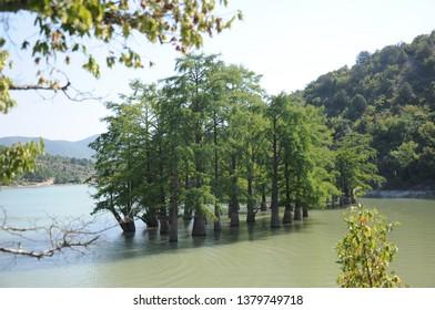 Water cypress trees in Sukko Lake in summer.