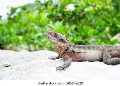 A water dragon enjoying sun on a rock in a park in Australia