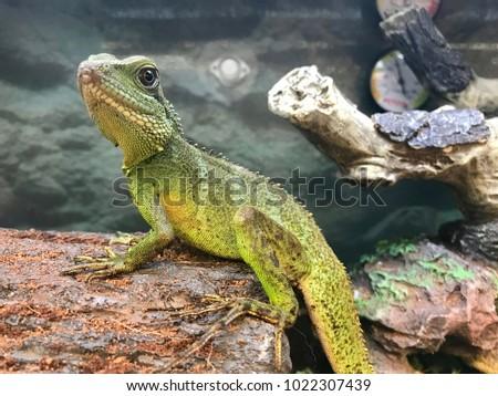 Water Dragon Terrarium Stock Photo Edit Now 1022307439 Shutterstock