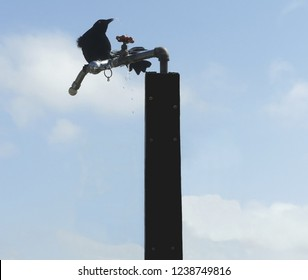 Water dribbles from a crow's mouth after drinking from a spigot left turned on at a beach shower. Its tail is arced to the side while holding onto the metal.