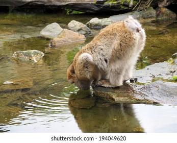 Water drinking Berber monkey