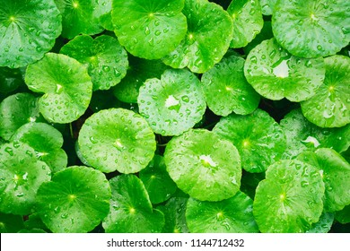 Water drop on Asiatic pennywort, Centella asiatica, Medical herb concept.