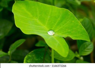 Water drop on green Colocasia leaf, commonly known as tarul, karkala ko ganu, elephant-ear, taro, cocoyam, dasheen, chembu, chamadhumpa/chamagadda in Telugu, shavige gadde, and eddoe