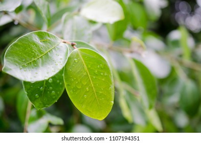 water drop on green leaves after rain.selective focus.