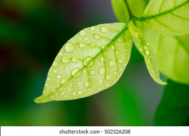 water drop on the leaf (after rainfall: closeup)  - Shutterstock ID 502326208
