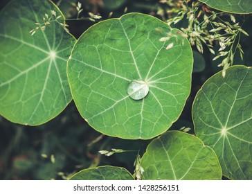 Water drop on a nasturtium leaf