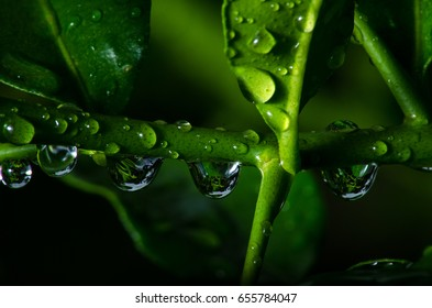 water drop on the thorny lime with lime tree.