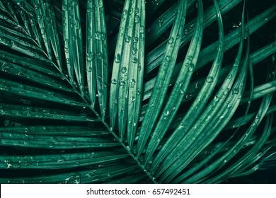 water drop on tropical palm leaf, dark green foliage background