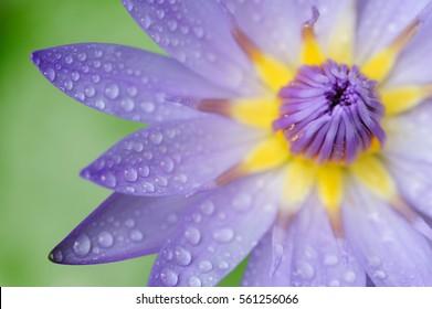 Water drop on waterlily petal