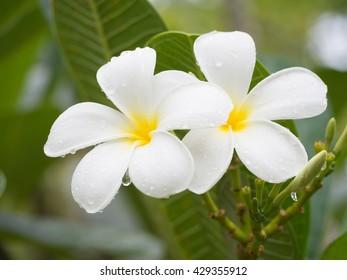 Water drop  on white plumeria,
