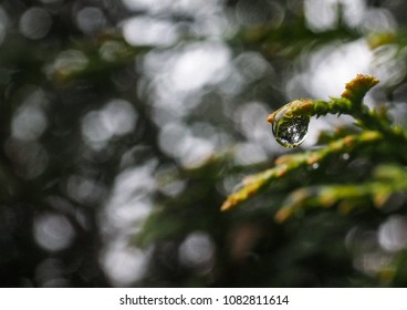 Water droplet on thuja, Arborvitae, at extreme close up of dew