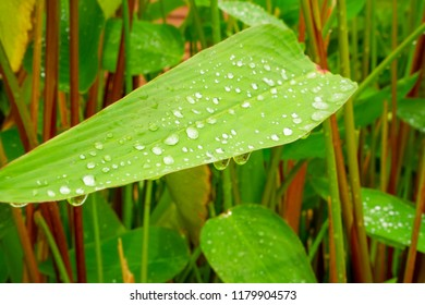 The water droplet from raindrops on fresh green water canna's leaf plant or Fire flage, cover all of leaflet, on blur background