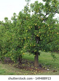 Water droplets cling to a bumper crop of pears, in trees heavy with fruit in the orchard.