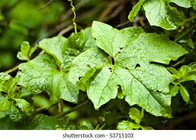 water droplets collect on broad leaves after a morning shower