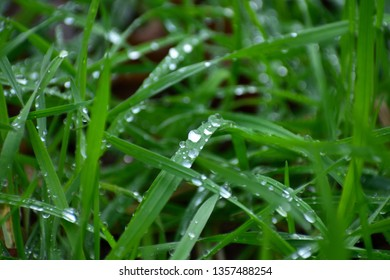 Water droplets on blades of grass after rain