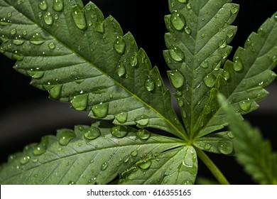 Water Droplets on a Cannabis Leaf