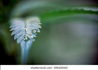 Water Droplets on Cannabis Leaf