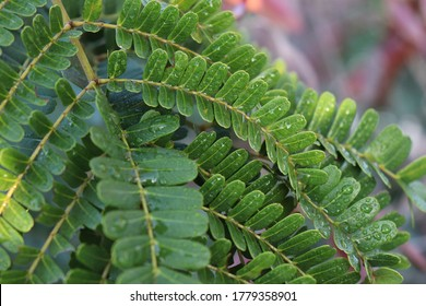 water droplets on gulmohar or Delonix regia tree leaves
