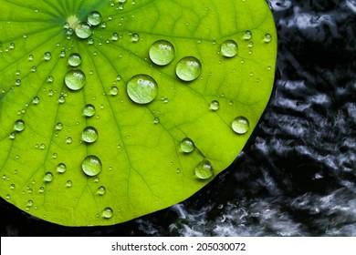 Water droplets on Lotus leaf
