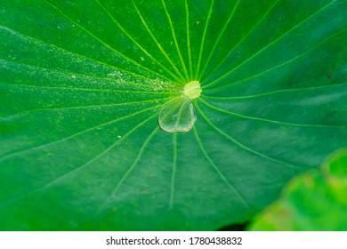 Water droplets on lotus leaves
